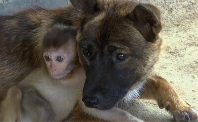 """Rolnik uratował ranną małpkę. Jego pies został """"mamą"""" maleństwa"""