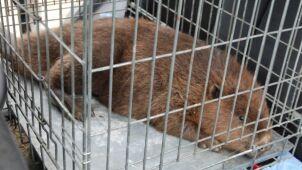 Kajakarze zauważyli bobry we wnykach. Policja szuka kłusownika