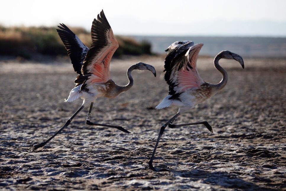 Dwa młode flamingi po zaobrączkowaniu w pobliżu Malagi w Hiszpanii