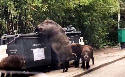 """""""Pigzilla"""" atakuje. Tym razem na szczęście śmietniki"""