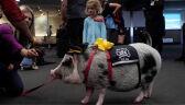 """""""To coś wyjątkowego i unikalnego"""". Pomocna świnka na lotnisku w San Francisco"""