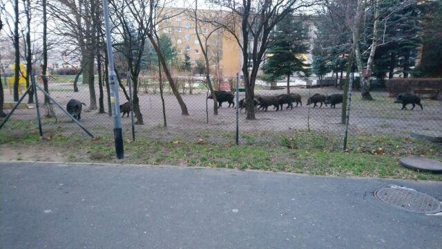 Dziki w przedszkolnym ogródku.