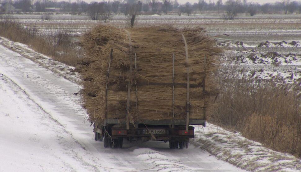 Przez ostatnich kilka tygodni producenci zbierali trzcinę ręcznie