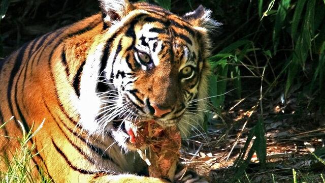 Indie: Tygrysica rozszarpała siedem osób