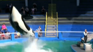 Kanadyjczycy uwolnią orki