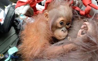 Ekolodzy uratowali dwa orangutany