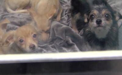 Trzymała 44 psy w małym mieszkaniu. Odebrano jej zwierzęta i eksmitowano