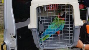 Papuga uciekła z hodowli. Uderzyła w szybę