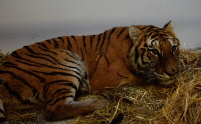 Zatrzymano dwóch włoskich kierowców, którzy przewozili tygrysy