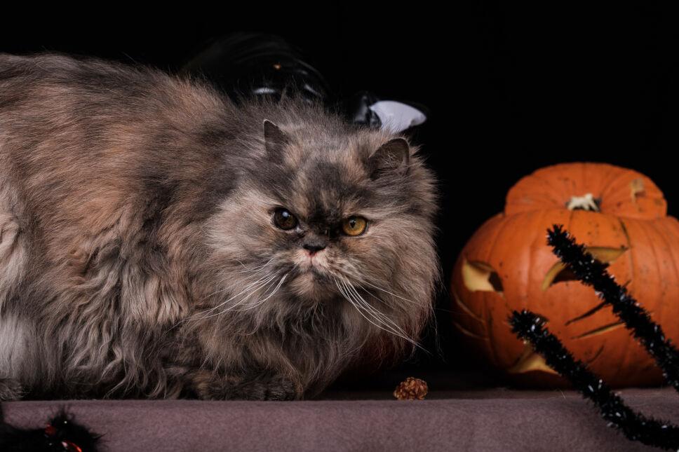 Ten kot wpisuje się w stylistykę halloween lepiej niż jakikolwiek inny