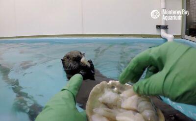 Zaatakowana przez rekina wydra wraca do zdrowia w kalifornijskim akwarium
