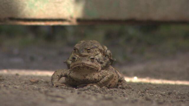 """""""Daj przejść żabie"""". Mają okres godowy, giną pod kołami"""