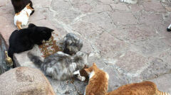 Lokalne koty nie dopuszczały Kunkusha do jedzenia
