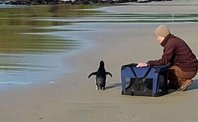 Pingwin grubodzioby przepłynął prawie 2,5 tysiąca kilometrów