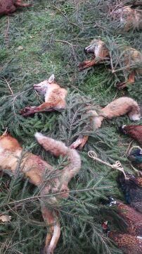 Lisy, bażanty, dziki pokazano publice