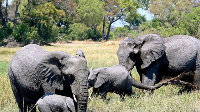 """Botswana: znieśli zakaz polowań na słonie. Mają być """"ekstremalnie ograniczone"""""""
