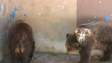 Cztery niedźwiedzie trafią do poznańskiego zoo
