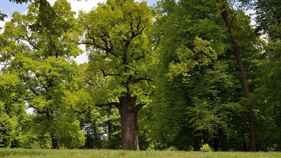 Dąb Józef Europejskim Drzewem Roku