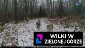 Wilki w Zielonej Górze