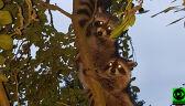 """Szopy na drzewie. """"Kto wam tu pozwolił przyjść do mnie mieszkać?"""""""
