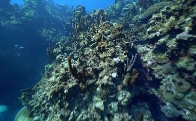 Naukowcy i mieszkańcy Jamajki odbudowują rafę koralową