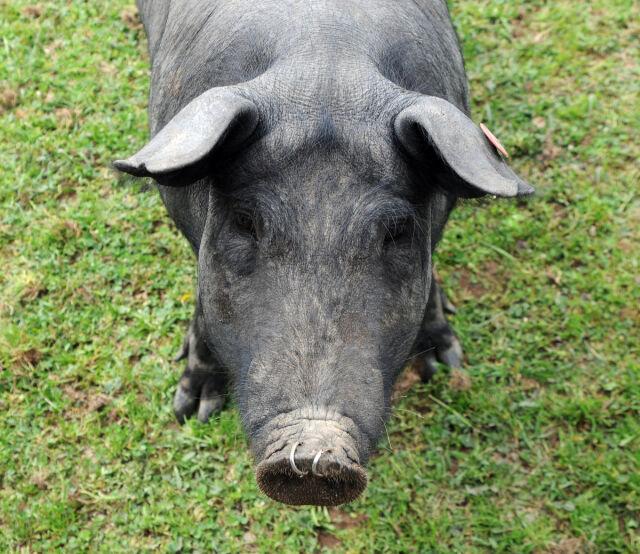 Świnia w szaliku ofiarą kibiców?