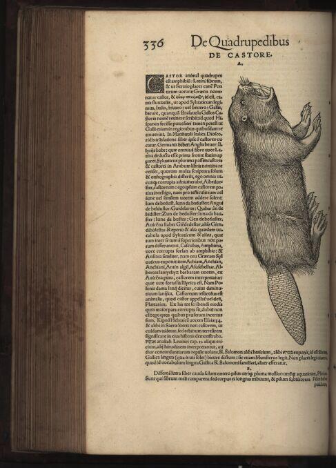 """Bóbr w """"Historii zwierząt"""" Konrada Gesnera, część o zwierzętach czworonożnych (1551 rok)"""