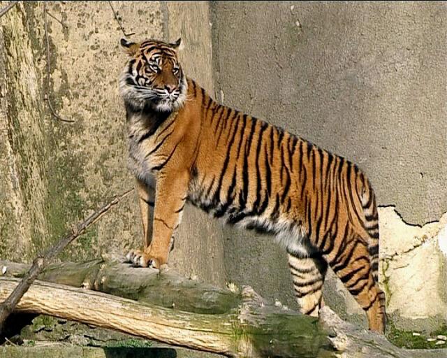 Usta-usta z tygryskiem