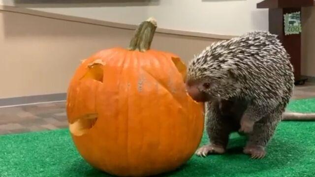 Jeżozwierz wcina halloweenową dynię