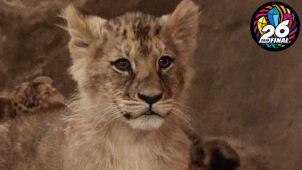 Możesz nazwać małą lwicę i wygrać odlew jej łapy
