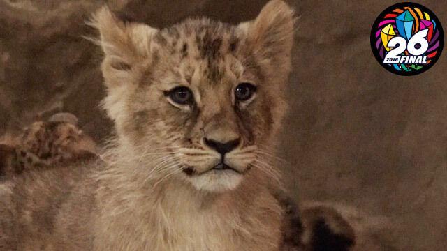 Zwycięzca licytacji nazwie małą lwicę