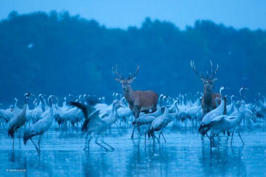 'Red Deer and Cranes' Marek Kosiński, Polska