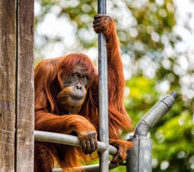 Nie żyje najstarszy orangutan świata. Samica Puan miała 62 lata