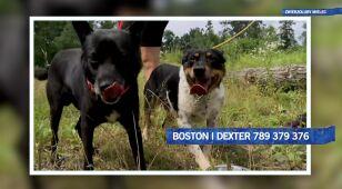 Boston i Dexter szukają domu!