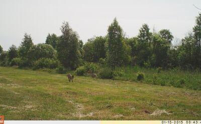 Sekretne życie dzikich zwierząt (wilki)