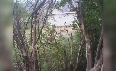 Kangur biega w okolicy Namysłowa