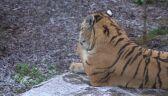 Tygrysy z Człuchowa dostały sztuczną zebrę