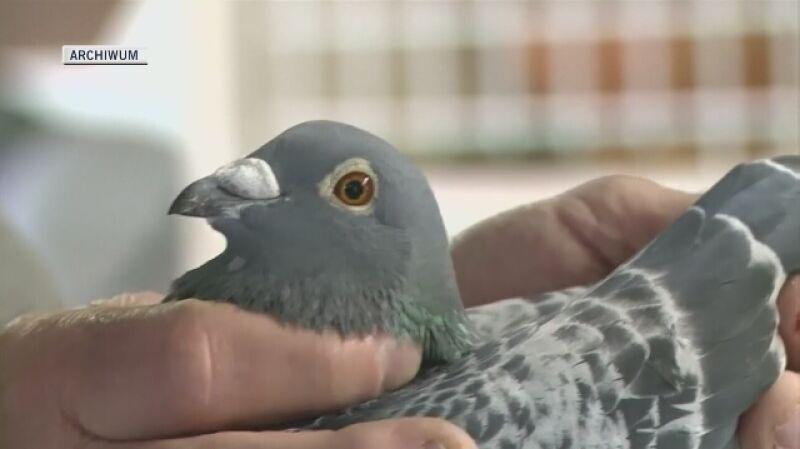 Najdroższe gołębie pocztowe hodowane są w Belgii i Holandii