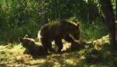 Niedźwiedzie uzupełniają witaminy