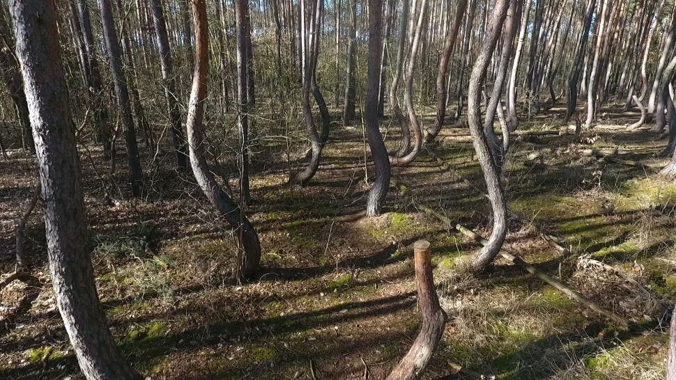 Drzewa z Krzywego Lasu umierają. Leśnicy mają plan