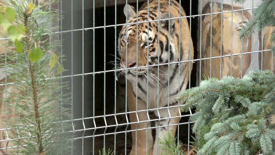 """Tygrysy były """"w dobrej kondycji""""?"""