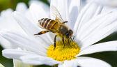 Resort rolnictwa zgodził się na użycie pestycydów, szkodliwych dla pszczół