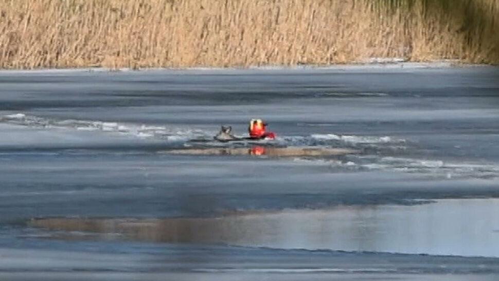 Brawurowa akcja strażaka z Malborka. Wszedł do lodowatej rzeki i uratował tonącą sarnę