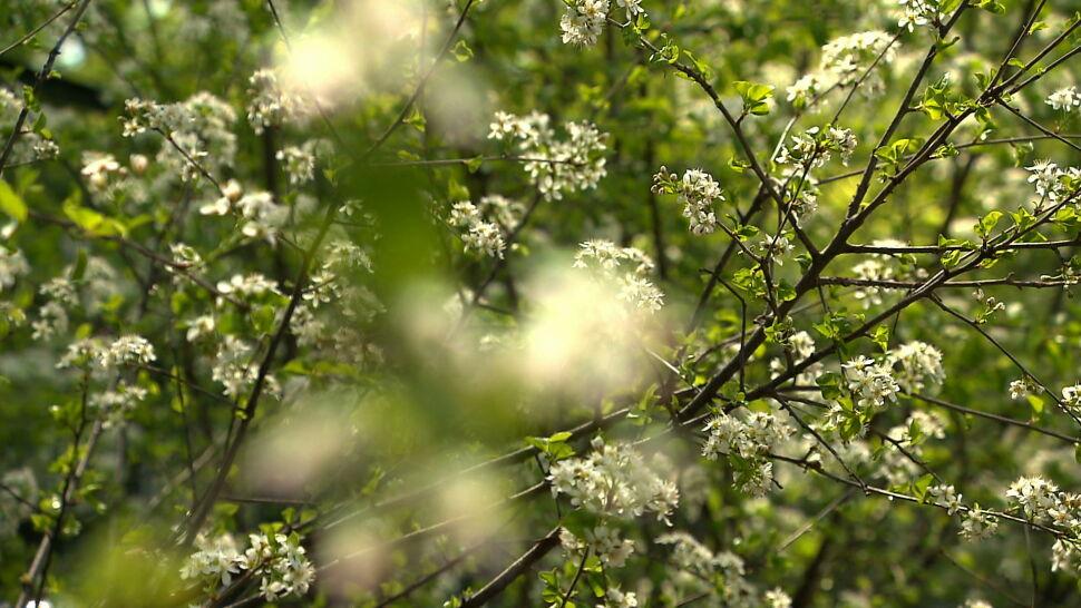 Trudna wiosna dla alergików. W tym roku pyłki są bardziej dokuczliwe