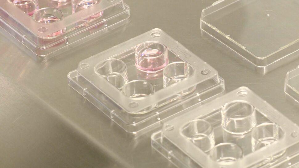 Szansa na przełom w in vitro. Udało się wyhodować gotową do zapłodnienia komórkę jajową