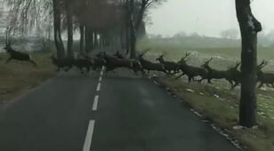 A deer herd came out of the road. Recorded by Reporter 24