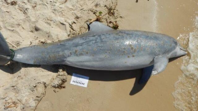 Ponad 260 martwych delfinów  na brzegu Zatoki Meksykańskiej