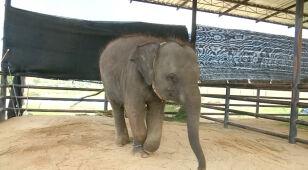 Słoniątko z protezą znalazło nowy dom.