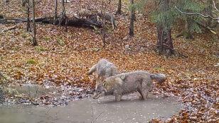 Harce wilczej rodziny w Małopolsce
