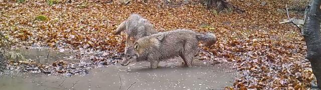 Harce wilczej rodziny nagrane w Małopolsce